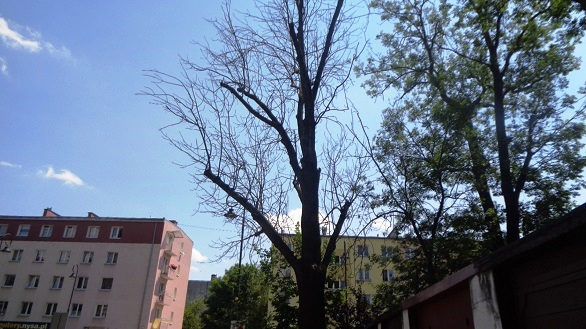 Uschnięte drzewo.